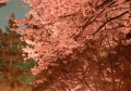 2010年の桜 その1