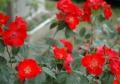 庭の薔薇2