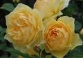 庭の薔薇3